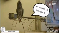 """台湾一只成精的鹦鹉""""大头"""",好会调戏人。。"""