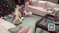 男子将自己打包送给宠物当圣诞礼物 狗狗开心到疯