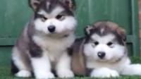 哪里有卖灰色巨型阿拉斯加幼犬的