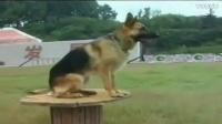 腊肠犬 训练 两个多月的博美大小便