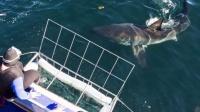 南非大白鲨口叼海豹跃出水面表演飞转腾挪