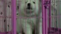 纯白色萨摩耶幼犬多少钱一只