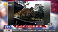 重庆自然体验区老虎拦下游客车辆趴引擎盖上 说天下 170117