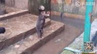 可怜马来熊向游客乞食 印尼动物园涉虐待