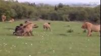 非洲鬣狗圍攻掏肛雄獅