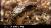 """""""蛇王""""与蛇王面对面,体长4.5米的眼镜王蛇被驯服"""
