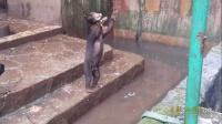 """实拍动物园马来熊骨瘦如柴 站起来""""伸手""""向游客乞食"""