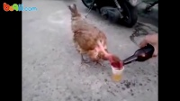 【搞笑视频】太牛逼了!《鸡年好 干杯!》大公鸡拼酒不准代喝,真豪气啊!