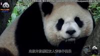 20170121 圓仔睡到流口水 The Giant Panda Yuan Zai.pds