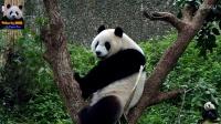 20170121 圓仔劈腿下樹 The Giant Panda Yuan Zai