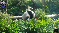 20170128 大年初一圓仔吃金雞大餐 The Giant Panda Yuan Zai