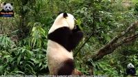 20170129 大年初二春回大地 圓仔弄樹喜慶新春 The Giant Panda Yuan Zai