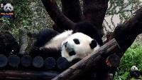 201701115 圓仔的花式睡姿(上) The Giant Panda Yuan Zai