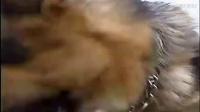 训犬图片-博美犬生病了怎么办