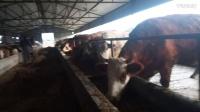 黄牛养殖基