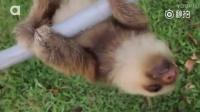 原来刚出生的小树懒是这么叫的哇~