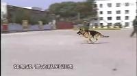 快乐训犬跟我学官网-警犬训练的视频