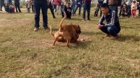 广西毛毛和广东沙胆巅峰对决【贵州猛犬群383564475】
