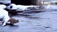 猞猁:凶猛而霸气的大猫 猫界的小老虎 看猞猁凌空飞跃超远渡河