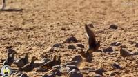 神奇伟大的沙漠之鸟,用身体运水