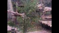 【搞笑视频】这个熊猫宝宝有点怪,不吃竹子,却喜欢饲养员的小腿不放开!_合并文件