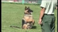 博美幼犬多少钱一只-深圳市警犬训练基地