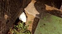 萌宠兔子造窝挖洞全过程,难得见到难得拍到的兔妈妈生兔宝宝前的准备