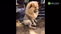 二货主人把松狮打扮成一个小狮子, 还能这么玩, 求心理阴影
