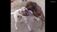 两只狗狗的战争,搞笑视频谁也不让谁