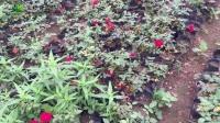 哪里红帽月季质量最好? 哪里红帽月季价格最便宜?红帽月季苗木产地在那里?