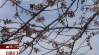 华盛顿樱花盛放期迟到 特别关注 170319