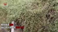 实拍印度工人用推土机抓老虎 操作不熟练结果悲剧了