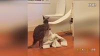 搞笑!澳袋鼠饥不择食潜入居民家偷吃卫生纸_高