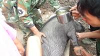 2011过年杀猪