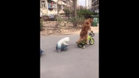"""金毛""""轮胎""""骑着自行车带着弟弟去遛弯,太拉风了!"""