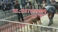 桂林比特犬多少钱一只,比特犬幼犬哪里有卖的  桂林娱乐资讯!!!_标清