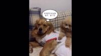泰迪嫌弃金毛睡觉姿势难看,拿了张餐巾纸给他把重要部位挡住了!