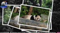 20170404 團團的兒童節寫真集 The Giant Panda Tuan Tuan.mp4