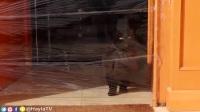 迪拜美女恶搞自家猫,还没见过这么大胆的猫奴