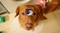 狗狗教你洗衣服,狗狗是如何洗衣服的_标清