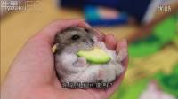 萌鼠萌萌的在主人手中进食
