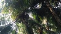 采椰子 摘椰子