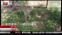 都市晚高峰(下)20170423南非 中国游客遭豹子袭击 瞬间被扑倒跪地哭喊 高清