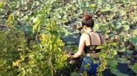 农村妹子稻田旁放置捕鱼笼,收笼时让人冷汗直流