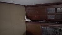 猫咪自己转动门把手登堂入室