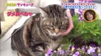 这只猫的腰围比主人还要粗