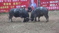 17年白午斗牛B组210胸围组-中集-小鸡兔、小铁牛等名牛参赛