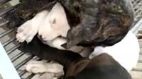 卡斯罗幼犬出售18354755209