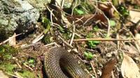 动物世界 抓拍一条水蛇