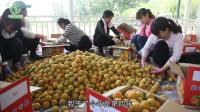 最好吃的杏子成熟了